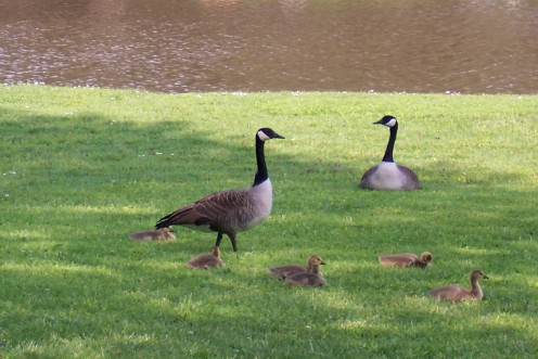 Geese and Goslin Photo