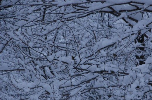 A couple finches sit in the snow-covered branches before sunrise.