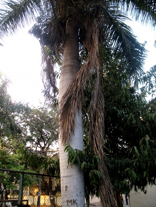 There is none to cut the dried ferns so huge and so long as 70 feet.This can fall and did fall by the side of a lady who came to park to walk but was lucky the fern of the tree did not fall on her head.The local people representative doesn't walk or