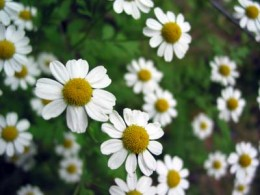 Chamomile is one of the best herbal remedies, treating everything from the common cold to hemorrhoids.