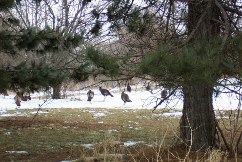 Wild Turkeys Photo