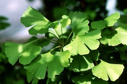 Ginkgo herbal remedies are brilliant for those suffering from memory loss!