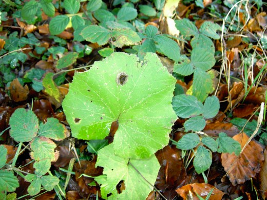 If our ancestors had a cough they would seek out the leaves of coltsfoot.