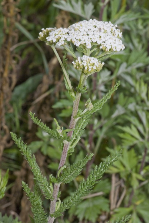 Yarrow is one of the oldest known wound herbs. It was employed by the Anglo Saxons to heal wounds caused by swords and other weapons. Photograph courtesy of Pritchard. Wikimedia commons.