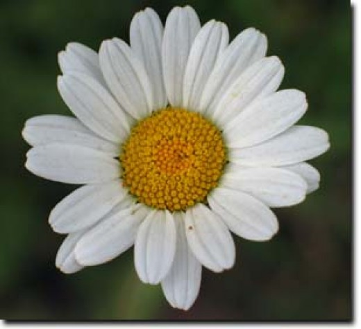 The large ox-eye daisy was once utilised in medicine.