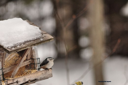 A nuthatch sits on the lee side of the feeder to stay out of the wind.