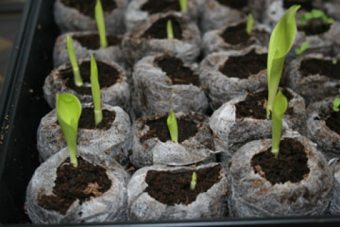It's actually pretty easy to learn how to grow cannas from seed. You can even collect the seeds from your own cannas each year to greatly and inexpensively increase your garden population.