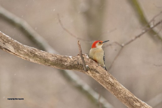 The red belly of the red-bellied woodpecker is peeking out next to the limb it's sitting on.