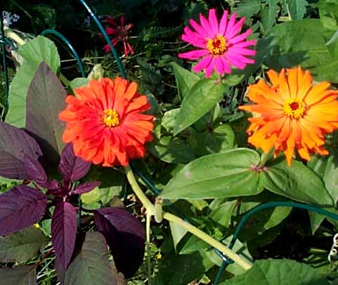 Zinnias are among the easiest annual flowers to sprout and kids love the bright colors. Zinnias make lovely cut flowers.