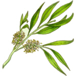 Tea Tree Oil has become well known for it's 'clean' properties, but it is also pretty useful in a couple of the best home remedies.