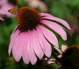 Echinacea is a healing plant