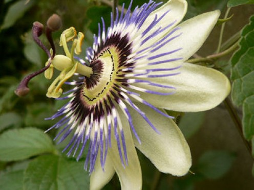 The beautiful passion flower relieves stress inside and out. Photo from Wikimedia Commons.