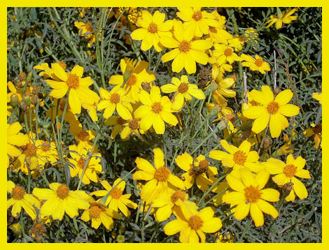 Mexican marigold eases diaper rash and other skin irritations. Photo from Wikimedia Commons