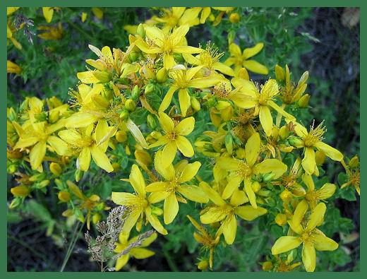St. John's Wort, odd name, powerful herbal drug. Photo from Wikimedia Commons.