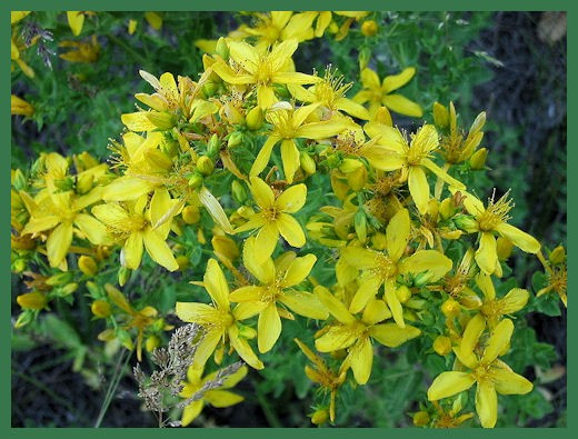 St. John's Wort, odd name, powerful herbal drug. Photo from Wikimedia Commons.