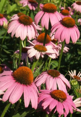 Echinacea is a commonly used herbal remedy. http://flickr.com/photos/tonythemisfit/ / CC BY 2.0