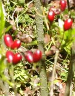 ...or this plant (Rauwolfia Vomitoria) hold the cure for cancer??