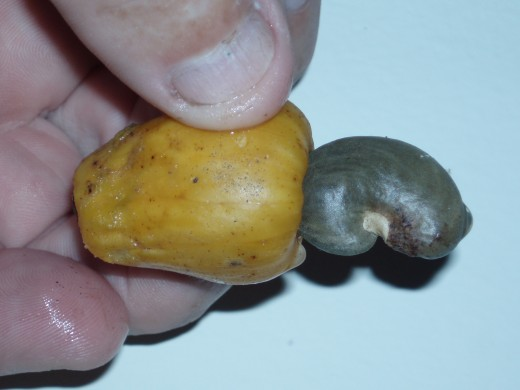 A Cashew nut straight from our school tree.