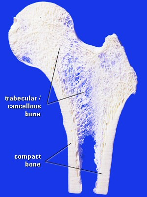 A great illustration showing the infrastructure of trabeculae within a bone. These are the structures that eventually deteriorate with osteoporosis.