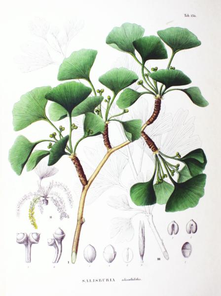 Leaves of the Ginkgo Biloba tree