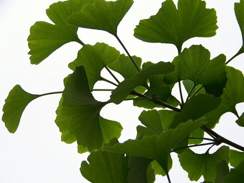 Ginkgo biloba increases the risk of bleeding