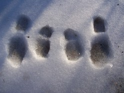 Mine and Boo's snowy footprints.