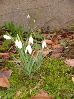 A young clump of snowdrops.