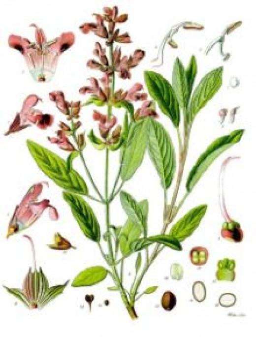 Fragrant Sage