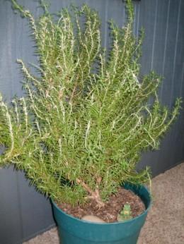 Fresh Rosemary is Best