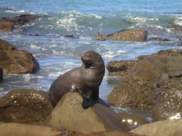 One of many fur seals basking on Kaikoura's coast