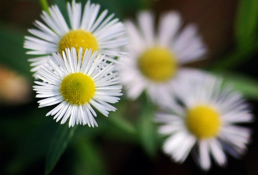 Small white Chamomile flowers from 4freephotos.com