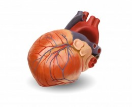 The human heart
