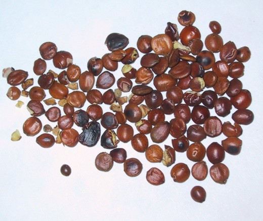 Jujube seeds