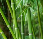 Bamboo is the fastest growing plant on the planet.