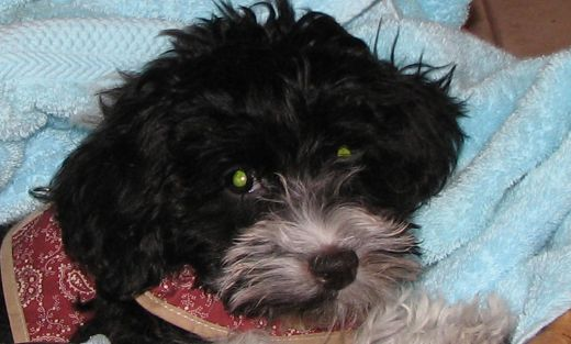 Tanya, a Havanese, was rescued from a puupy mill. Otherwise she'd be doomed to a life of misery.