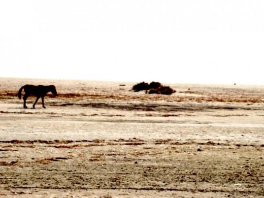 A lonely pony at Dhanushkodi