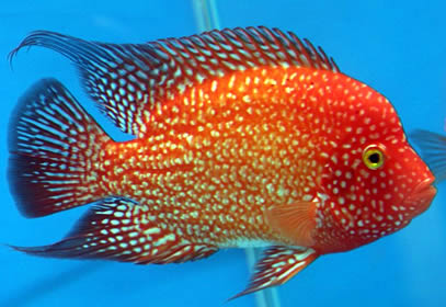 Texas Red Cichlid