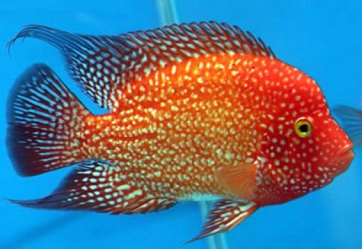 Texas Red Cichlid