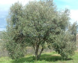Young Olive Tree