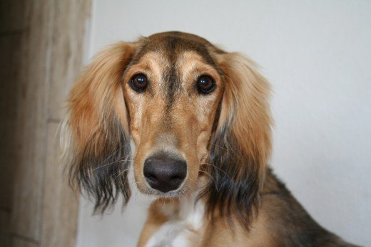 A Young Saluki Dog Shows Expressive Eyes