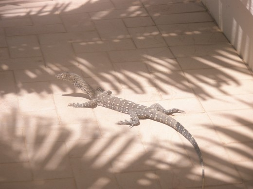 A lizard - the first desert animal I met in Coral Bay