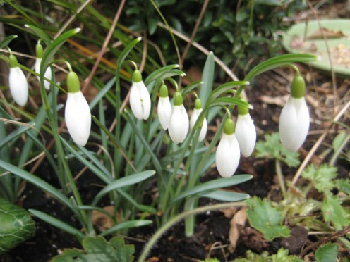 Photo: snowdrops in bloom