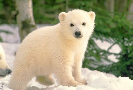 Giant Panda Cubs Playing Polar Bear Facts