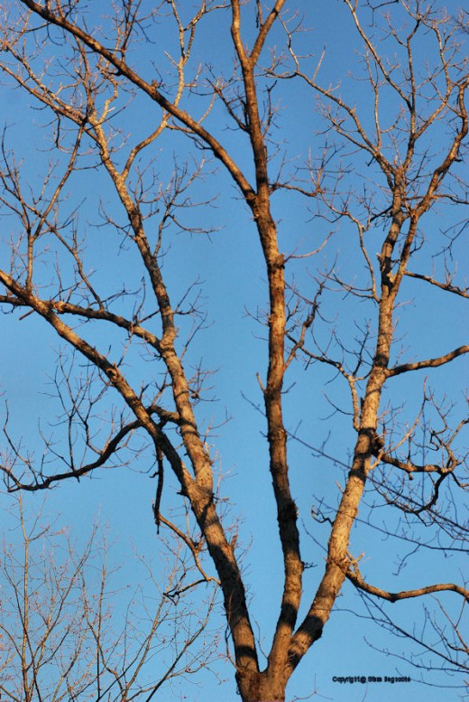 Bare branches of an oak tree don't look so stark in the warming light of a March sunsent.