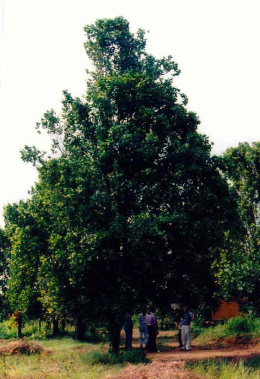Tall and lengthy clove tree