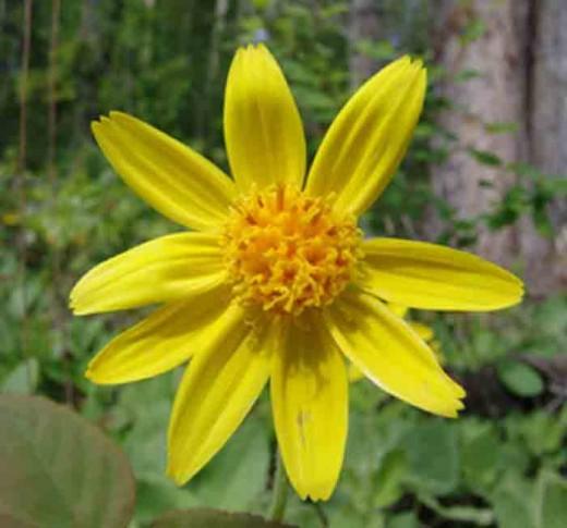 Arnica Plant