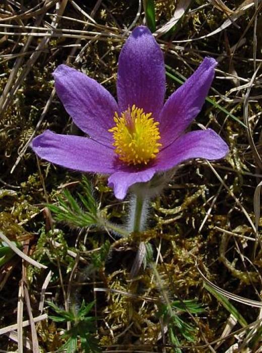 Pulsatilla Plant - Public Domain