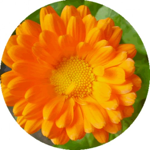 Calendula essential oil is rich in flavonoids and carotenoids. Commonly used as a carrier oil, it is good for treating skin redness, rashes, skin irritations, spider veins and varicose veins, amongst others.