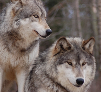Aniwahya (Wolf Clan or Panther representing war)