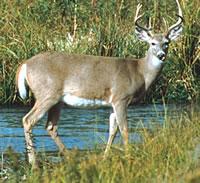 Anikawi (Deer Clan or Bison representing peace)